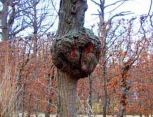раковые деревья